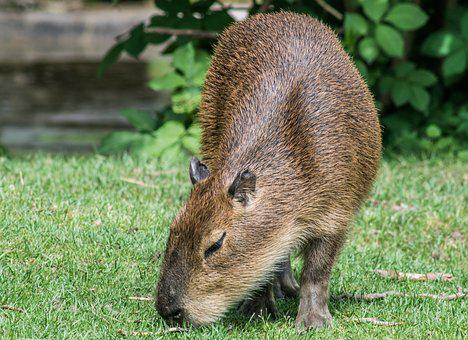 Capybara, Rodent, Mammal, Animal, Zoo, Futerkowe, Pet