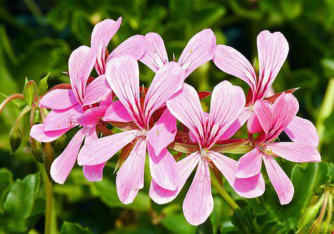 Hang Geranium, Flowers, Pink, Flamed, Balcony Plant