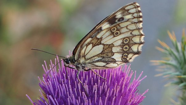 Insect, Butterfly, Nature, Invertebrate, Outdoor