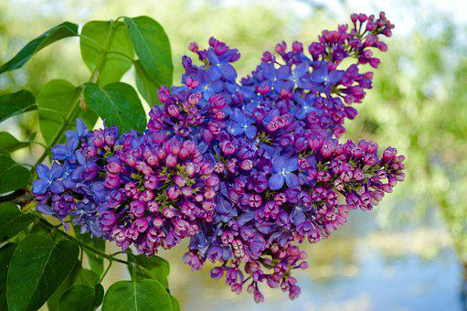 Lilac, Lilac Bush, Lilac Flowers, May, Flowers, Bloom