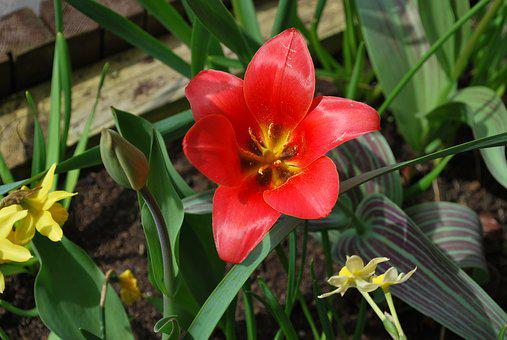 Red Lily, Lily, Wild Flower, Flowers, Nature, Red