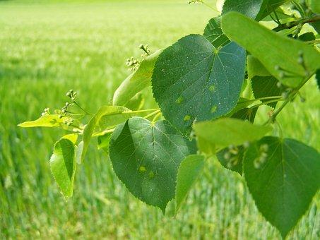 Lime Tree Branch, Nipples