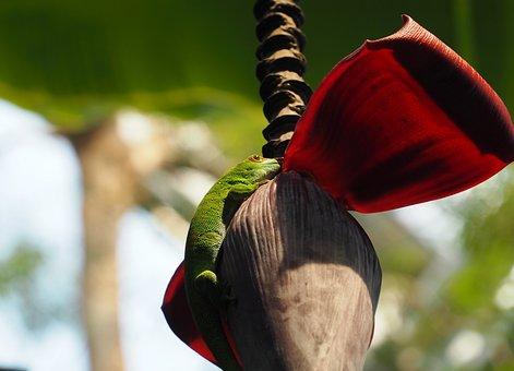 Gecko, Reptile, Lizard, Madagascar