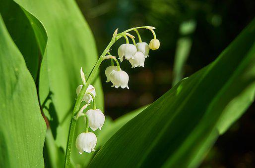 Lily Of The Valley, Morning Sun, Nature, Plant, Leaf