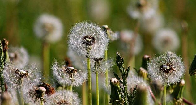 Dandelions, Dandelion, Nature, Flowers, Plant, Close