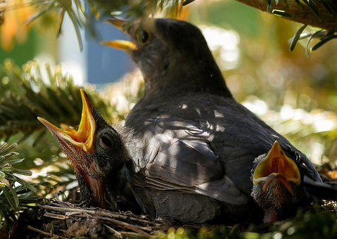 Bird, Nature, Animal, Blackbird, Nest, Feed, Hatching