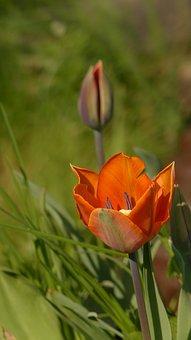 Tulip, Spring, Flower, Blossom, Bloom, Orange Tulip