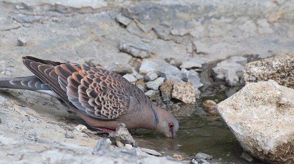 Wild Dove, Pigeon, Park, Birds