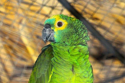 Amazon, Parrot, Amazona Amazonica, Venezuelan Amazon
