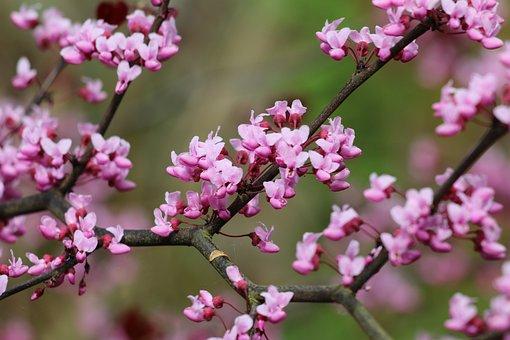 Cercis, Tree, Pink Flowers