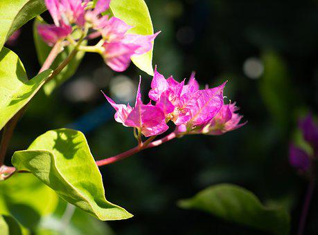 Bougainvillea Blossom, Flowers, Pink, Nature, Plant