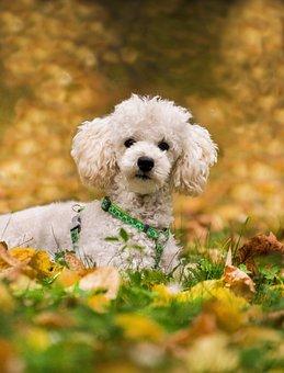 Poodle, Miniature Poodle, Dog, Concerns, Meadow, Leaves