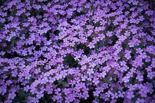 Purple, Spring, Sea Of Flowers, Purple Flower, Blossom