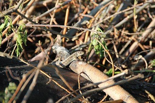 Lizard, Nature, Living Nature, Reptile, Reptiles