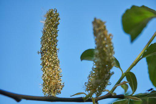 Blossom Kitten, Female, Seeds, Salix Cinerea