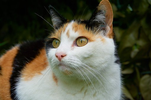 Cat, Lucky Cat, Close, Attention, Tricolor Cat, She-cat
