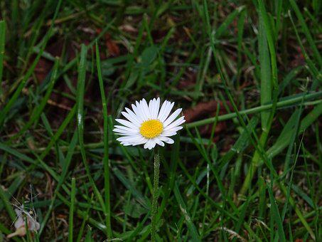 Daisy, Small Plant, Plant, Small Flower, Pointed Flower