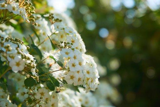 Prachtspiere, Spierstrauch, Flowers, On The Vine