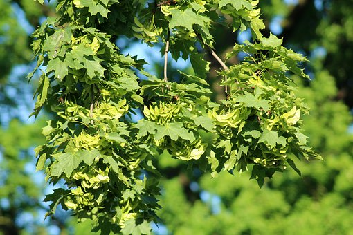 Clone, Tree, Spring, The Fruits Of The Maple