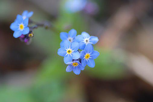 Forget-me-not, Nature, Flower, Spring, Plant, Blue