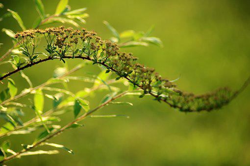 Tawuła, Ornamental Shrub, Spring, Green, Sprig, Plant