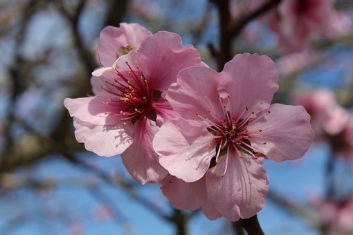 Spring, Almond Blossom, Spring Awakening