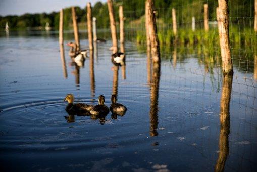Ducks, Pond, Stuttgart, Max-eyth-lake, Water Bird
