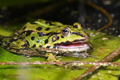 Frog, Water Lily, Mouth, Nature, Summer, Grass, Green
