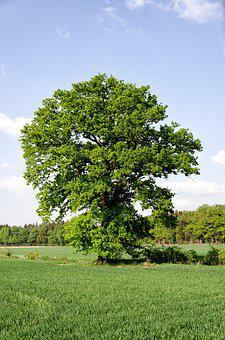 Tree, Meadow, Field, Oak, Germany, Sky, Sunny, Summer