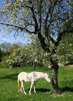 Horse, Cherry, White, Shadow, Tree, Animal