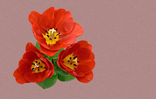Tulip, Summer Flower, Floral, Garden, Blossom, Plant