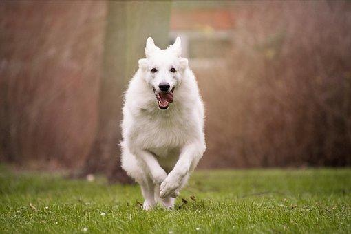 Dog, Grass, Mammal, Pet, Animal, Schäfer Dog, White