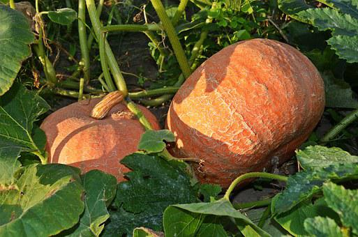 Pumpkin, A Vegetable, The Cultivation Of, Agriculture