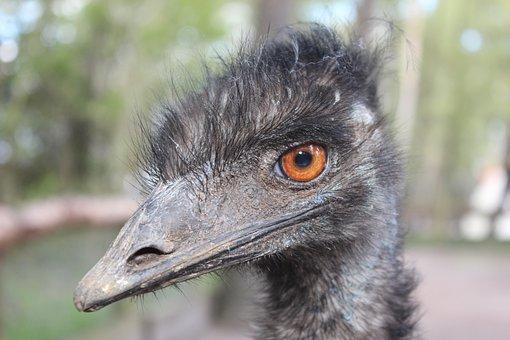 Emu, Animal, Bird, Head, Large Emu