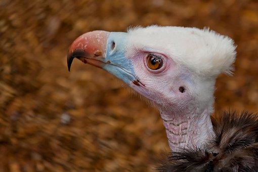 Vulture, Scavengers, Bird Of Prey, Plumage, Animal
