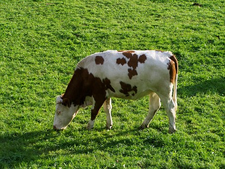 White-brown Cattle, Animal, Milk Production