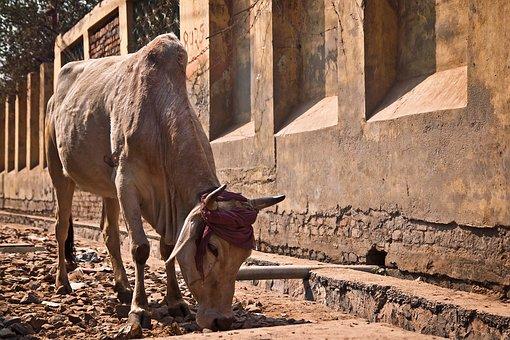 Holy, Cow, India, Animal, Sacred, Asia, Travel