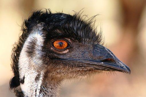 Emu, Head, Beak, Bird, Australia, Face, Curiosity