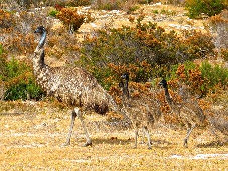 Emus, Birds, Flightless, Australia, Big, Australian