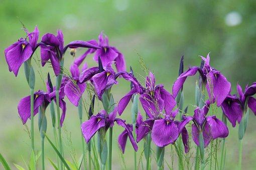 Iris, Flowers, Nature, Bloom, Garden, Beautiful, Greens