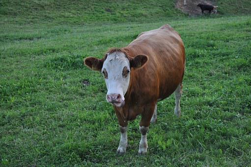 Cow, Beef, Pasture, Graze, Cows, Livestock, Milk Cow