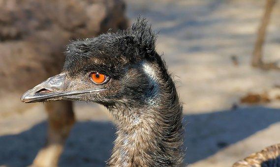 Emu, Flightless Bird, Bird, Bill, Head, Animal