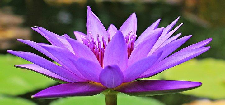 Water Lily, Nuphar Lutea, Aquatic Plant, Blossom, Bloom