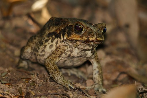 Toad, Frog, Cane Toad, Animal, Amphibian, Green