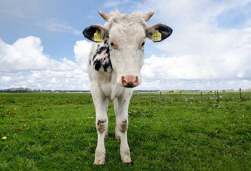 Cow, Calf, Young, Meadows, Landscape, Farm, Cattle