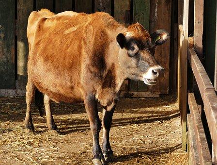 Animal, Cow, Farm, Cattle, Agriculture, Farm Animals