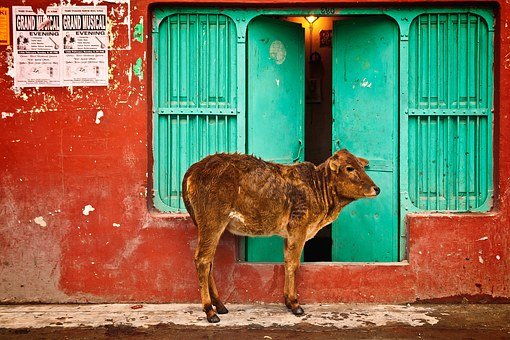 Holy, Cow, Door, Street, Outside, Color, Wall, Hindu