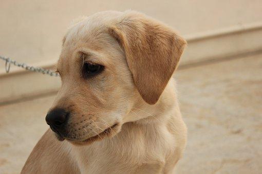 Labrador, Pet, Dog, Animal, Purebred, Adorable, Canine