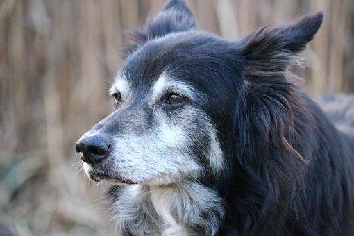 Dog, Border Collie, Herding Dog, British Sheepdog