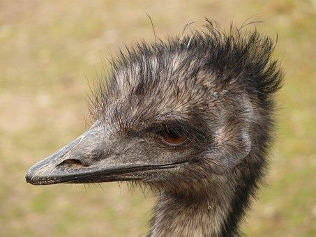 Emu, Head, Bill, Bird, Animal, Dromaiidae, Dromaius